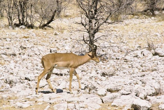Black-backed impala