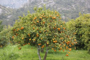 Orange orchard in Çıralı