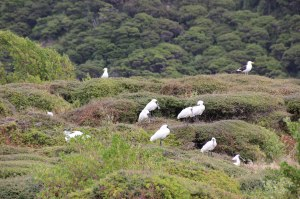 Royal Spoonbill colony