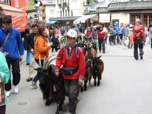 Bringing the goats back from their pasture