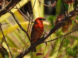 Madagascar Red Fody